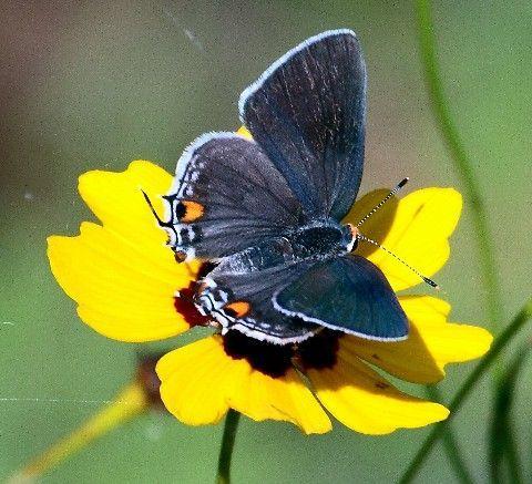 Superb Grey Hairstreak Butterfly