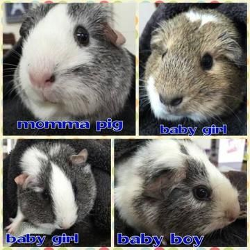 Check out Guinea Pig Family's profile on AllPaws.com and help her get adopted! Guinea Pig Family is an adorable Small