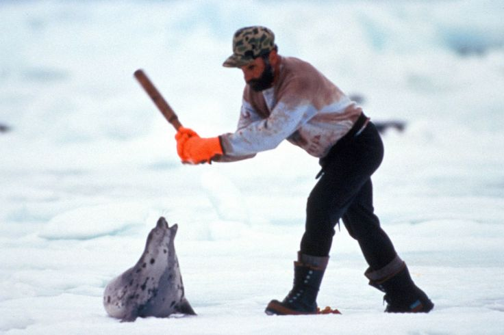 POLL: Should the annual Canadian seal hunt be banned? – Focusing on Wildlife