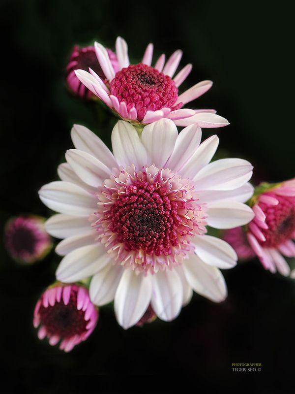 1000 Ideas About November Flower On Pinterest August
