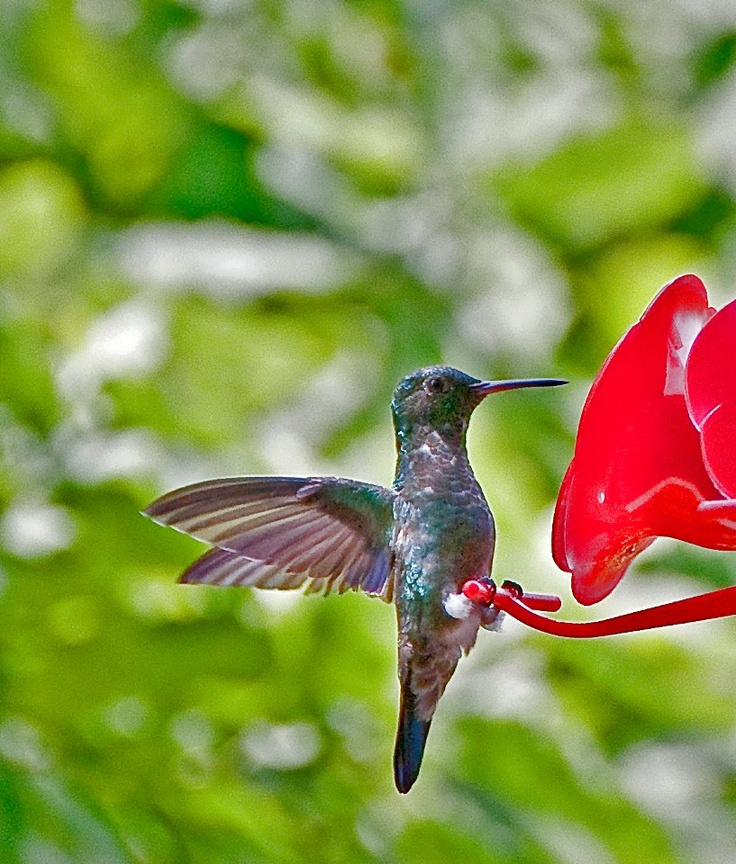 Humming bird, Cali, Colombia