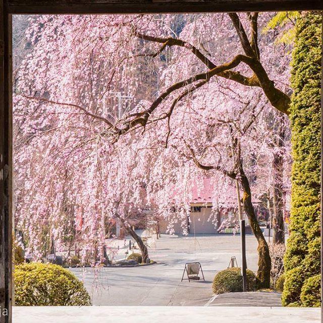 hodosanjinja #長瀞 #宝登山神社 #宝登山 #桜 #さくら名所100選 #神社 #shrine 宝登山神社 2017/04/08 19:52:24