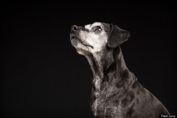 """#BlackDogsProject Meet Faith. She used to be all black, but has grayed with age.  """"I'm a sucker for senior dogs,"""" Levy said.  #FredLevy"""