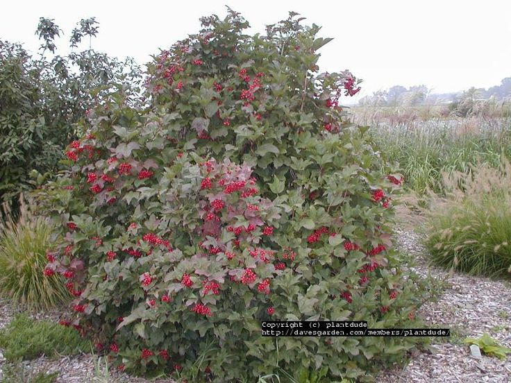 High Bush Cranberry Sometimes Called American Cranberry