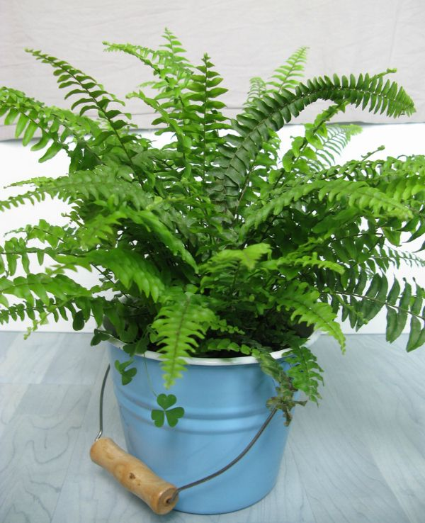 boston fern cleans and purifies indoor air 10 Common House Plants That Help Clean Indoor Air