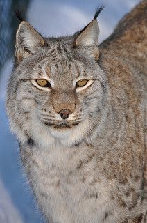 Eurasian Lynx - Ze lijken zo knuffelbaar, maar uiterlijk kan natuurlijk misleidend zijn!