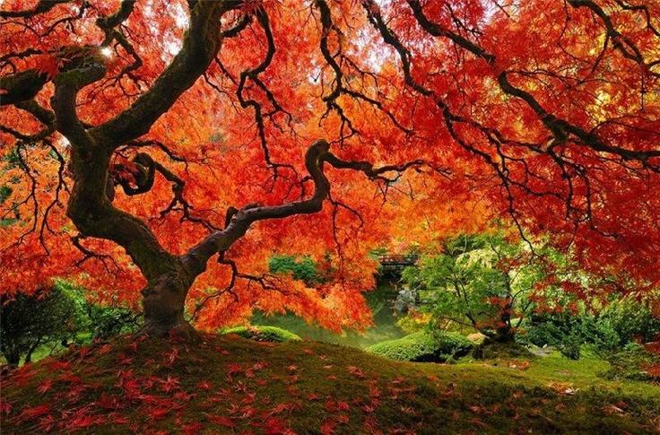 g.o.r. geous!: Autumn Leaves, Colors, Fall, Beautiful, Trees, Places, Natural, Japan Gardens, Portland Oregon