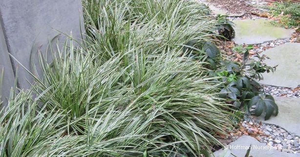 10 best modern grasses images on pinterest ornamental for Modern ornamental grasses