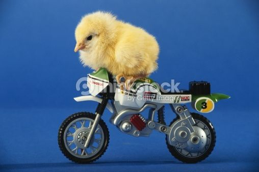 Stock Photo : Chicken on toy motorcycle, side view