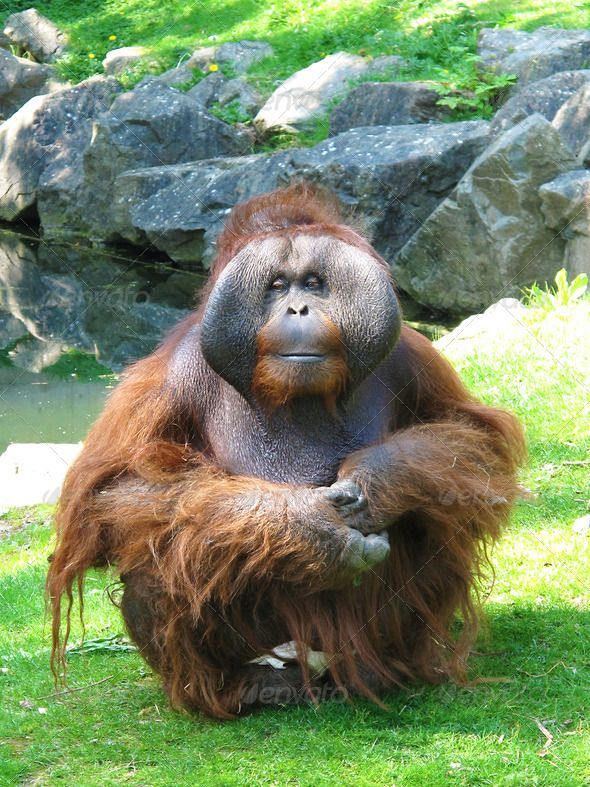 Orangutan King 1000+ images about Ora...