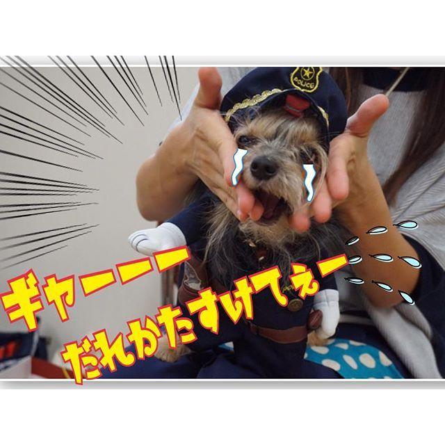 2016.10.2 * ママにイジメられる 弱虫ポリスわん(((*≧艸≦)ププッ♡ * #ほんとは可愛いポリスわん♡ #どんちゃんの衣装借りちゃった(*´艸`) #ありがと〜♡ #ヨーチー#ヨーキーmix#ヨーチワ #Yorkie#Yorkshireterrier#pocket_pets #Bellfix#mofmo#loves_pets#pecoいぬ部 #犬#愛犬#dog#instadog #可愛い#いぬらぶ#大好き #cute#doglove#petstagram#ig_dogphoto #食いしん坊犬部#美犬部#dog親バカ部 #蒼空