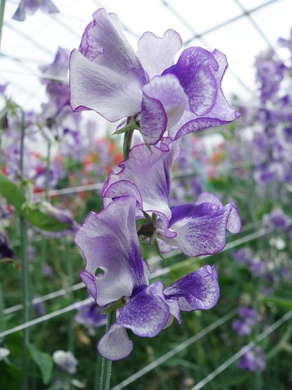 An absolute stunner bred by David Matthewman in Yorkshire. <br />Highly scented, almost shimmering florets set on long stems. <br />Gardeners will be delighted with this unusually coloured, dazzling new sweetpea.