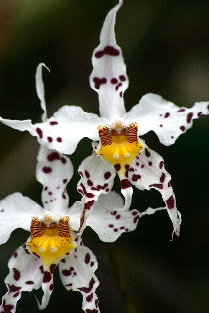 Brown and White Orchid