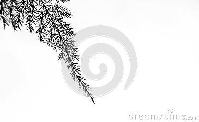 Black Asparagus fern shot by close range