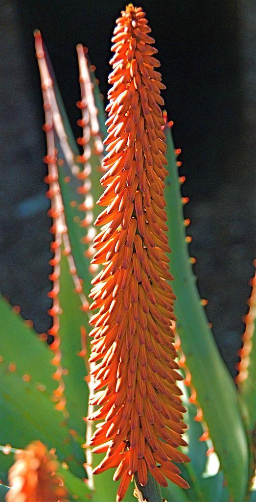 Aloe ferox Bloom | DSC_4286 Photo by Michael Buckner, The Plant Man, San Diego.