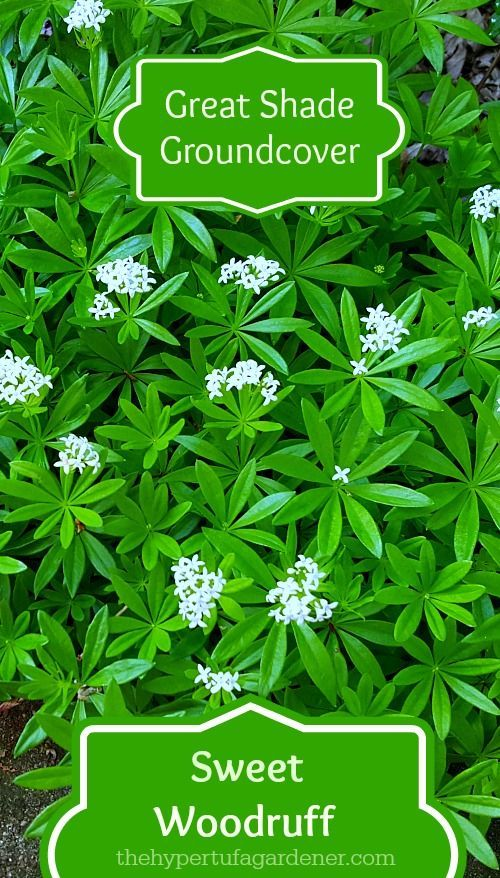 Sweet-Woodruff. This is a great groundcover for a shady area. Pretty white flowers against vivid green in the spring.