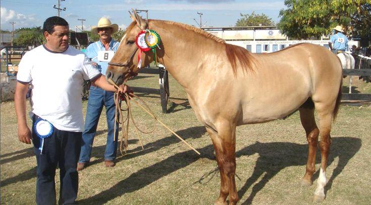 Senador, Champion Pantaneiro horse. Correio de Corumbá - Cavalo Pantaneiro: Pecuarista paraguaio é referência na fronteira Brasil-Bolívia