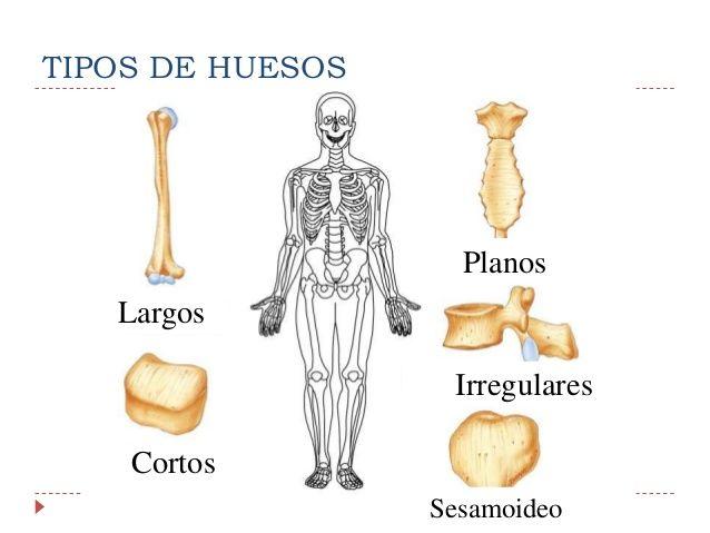 Diferentes tipos de huesos.