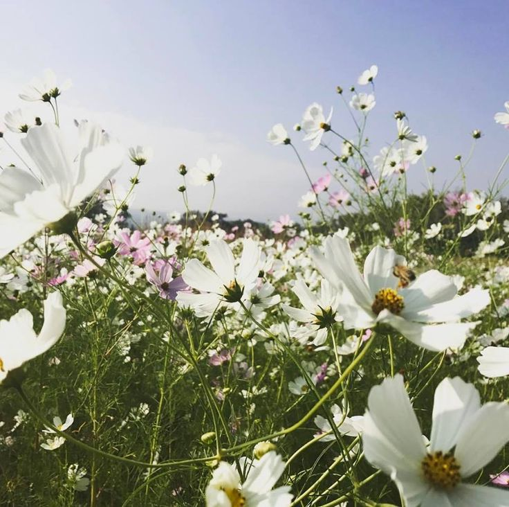 Morning sun glowing over the gorgeous cosmos at delta Park whilst bees buzz around #naturelovers