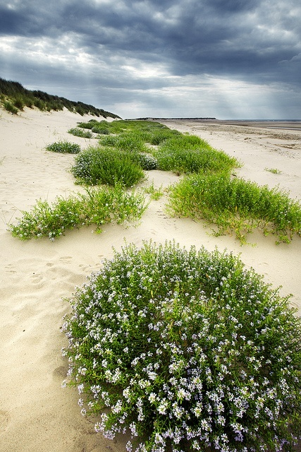 The Dunes of Thrift, #Norfolk Coast, England.
