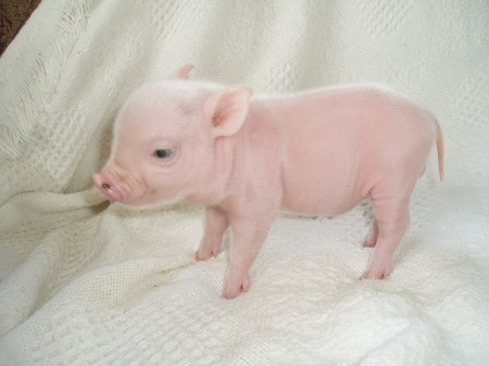 458 best ideas about Obsession: PIGS on Pinterest | Pig ...