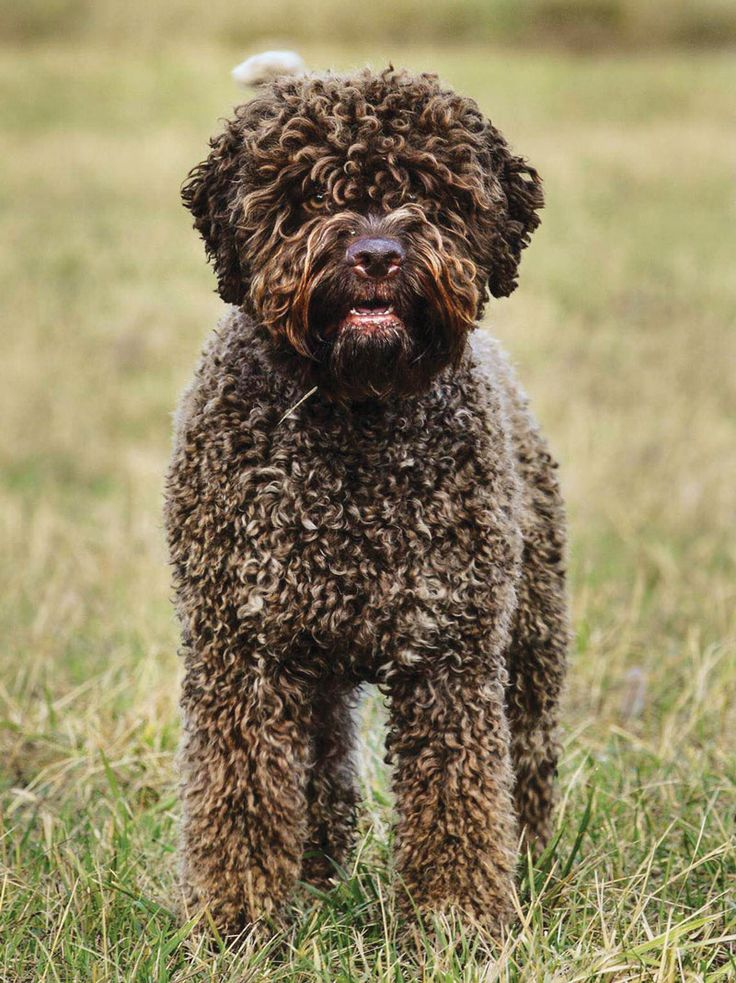 Lagotto Romagnolo Front and Head