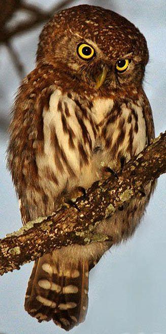 Pearl-spotted Owl, Kruger National Park, South Africa - BelAfrique your personal travel planner - www.BelAfrique.com