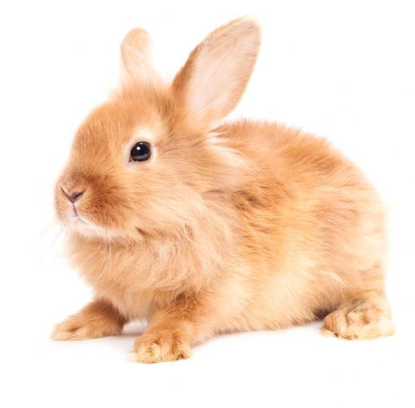 Razas de conejos y sus características #ExpertoAnimal #MundoAnimal #ReinoAnimal #Animales #Naturaleza #Granja #AnimalesdeGranja #AnimalesDomésticos #conejo