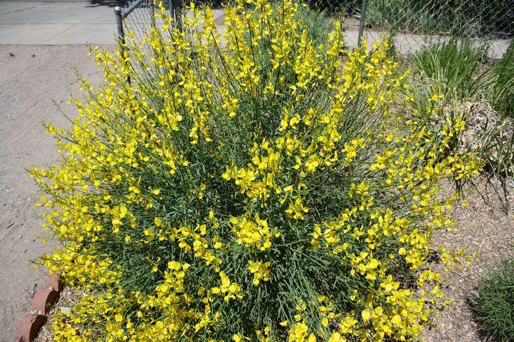 Sweet Brooms  flowering plants | Good To Grow