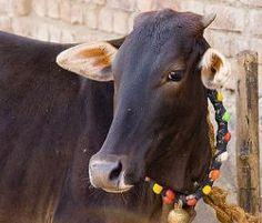 indische götter bilder | Heilige Tiere sind im Hinduismus Normalität. Fast alle Tiere, die ...
