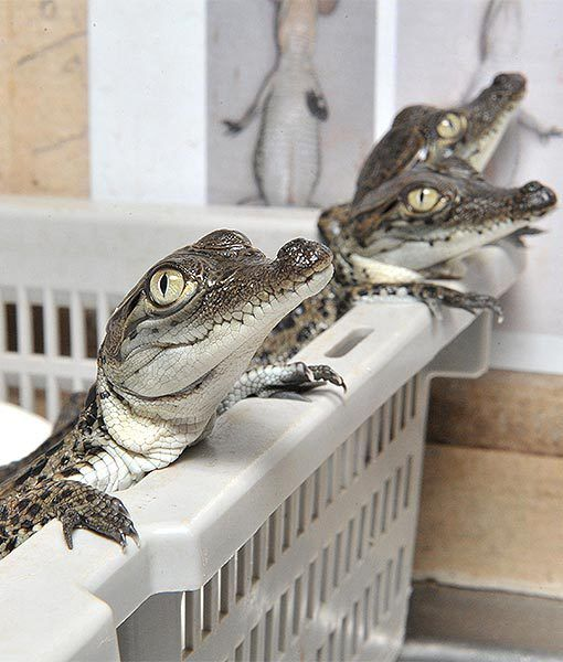 You're looking at Crocodylus Park's first saltwater crocodile hatchlings of the season. About 3,500 of these chompers are expected to be born between now and June. They look cute now, but when they grow up, they'll have some serious bite.