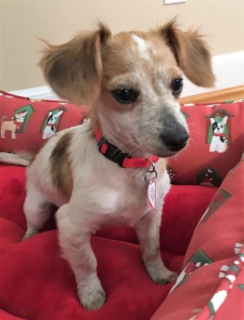 Hi I'm Toby ! Santa said all you asked for was a #playful #loving   #dachshund #Chihuahua mix #puppy  boy who is the #sweetest ever !! You get my #adoption papers filled out while I get my toys packed.