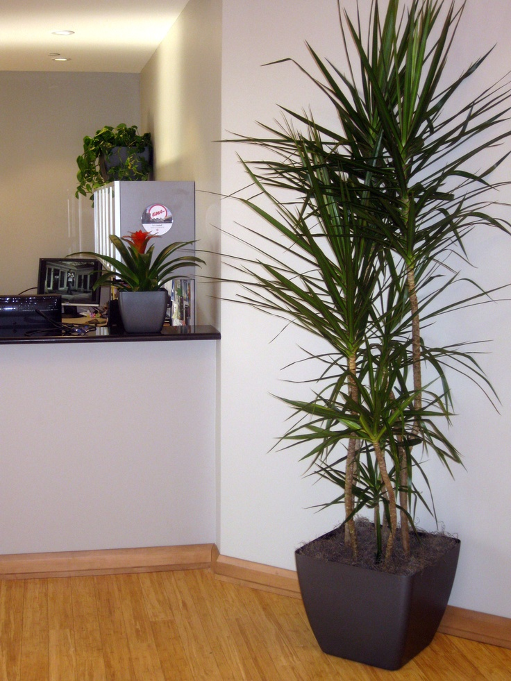17 best images about tall houseplants on pinterest elle decor ornamental plants and - Tall office plants ...