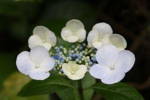 Gambar Bunga Hortensia Warna Putih Kecil