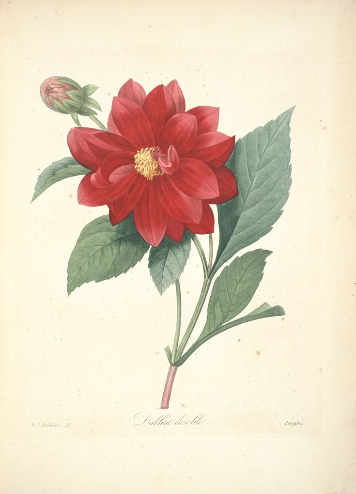 119 best gravures images on pinterest beautiful flowers for Botanic fleurs artificielles