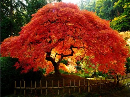 Japanese Maple Tree in Full Colour                                                                                                                                                                                 More