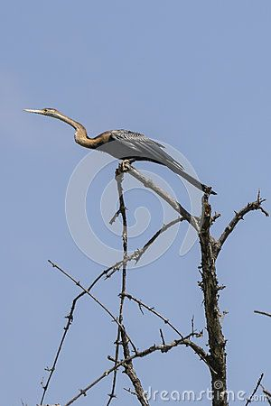 A bird Darter or snakebird   (Anhinga rufa), in the National Park in the Gambia . Africa.