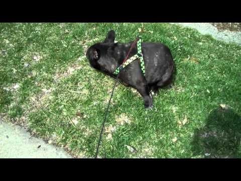 funny frenchie farts