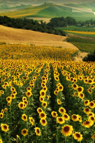 Sunflower Fields, Andalucia, Spain.
