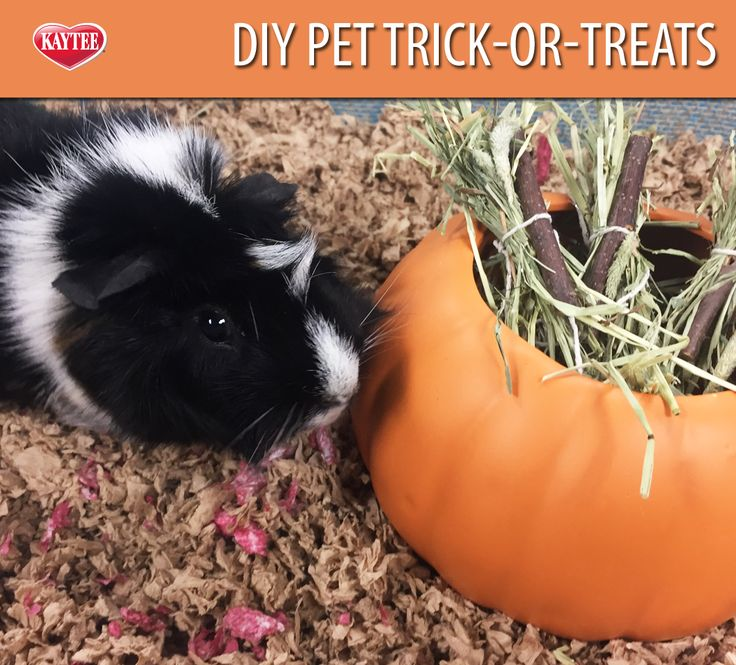 Your pets can trick-or-treat too! Badger is handing out DIY timothy hay and big branch bites for #Halloween this year. #guineapig
