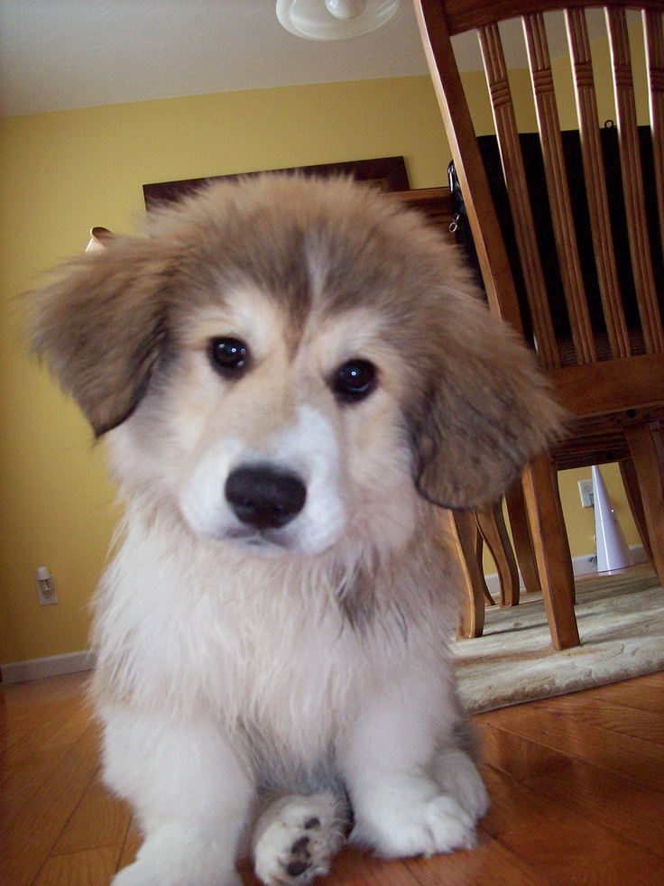 Meet Murphy, a Corgi Great Pyrenees mix. How did that even happen?