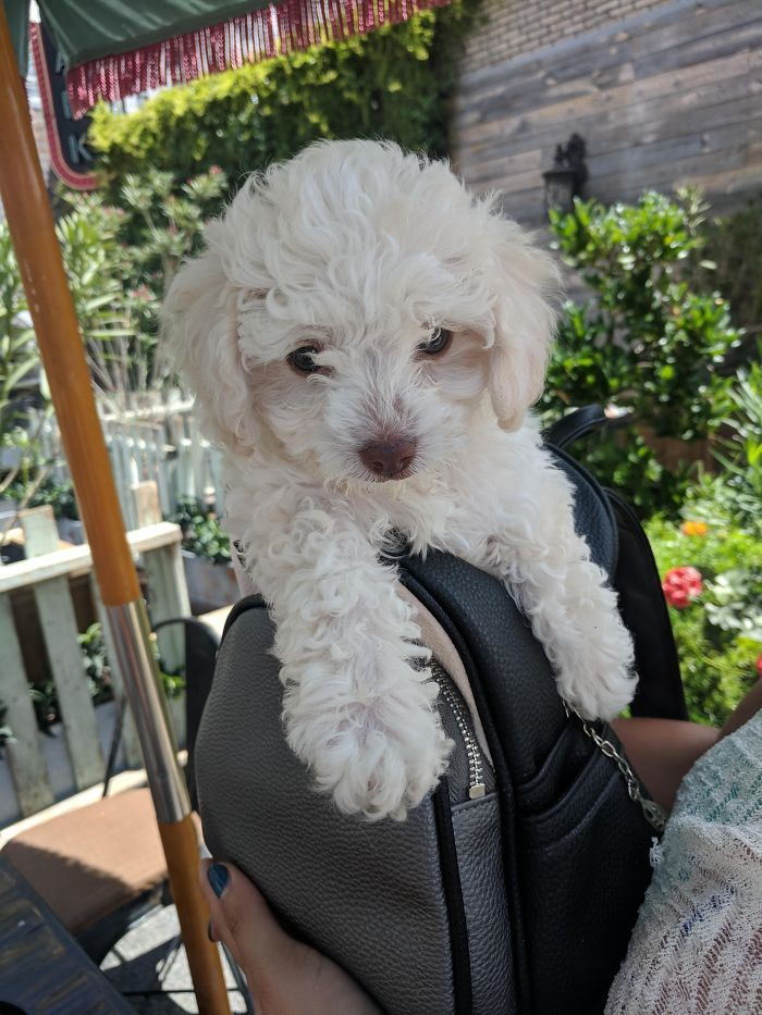 Reddit Meet My New Puppy Qiana Teacup Poodle Having Brunch With