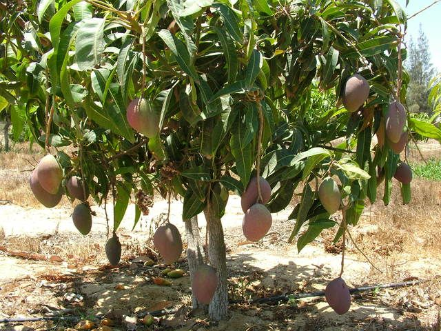 طريقة وخطوات زراعة شجرة المانجو من البذرة في البيت Agriculture Fruit Grapes