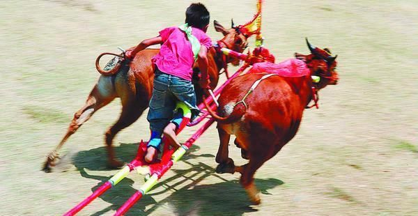 Karapan Sapi  Madura-East Java, Indonesia Bull Race in addition to a tradition as well as the party of the people who carried out after a successful harvest rice crops or tobacco