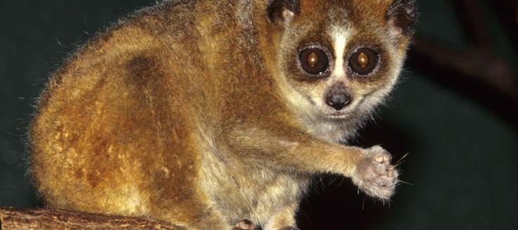 Lori lento, una scimmia velenosa Ci sono scimmie velenose? Ebbene sì, il lori lento è  una di queste. Questo piccolo primate dai grandi occhi, che ispirano tenerezza, nasconde un morso velenoso, il veleno di questi primati viene ut #lorilento #scimmiavelenosa #scimmie