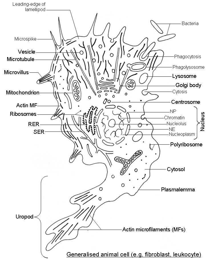 White Blood Cell Diagram Labeled Unique Blood Diagram With