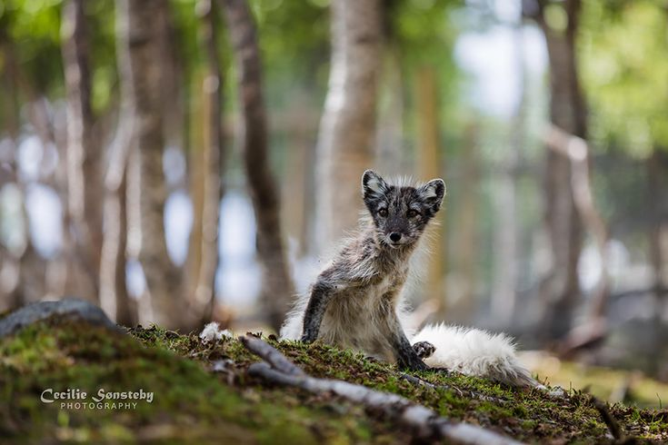 The arctic fox can be found throughout the Arctic Circle. Their thick fur keeps them from shivering in temperatures as low as -70 degrees Celsius (-94 Fahrenheit). These foxes have relatively short legs and snouts, which helps keep their surface area down and retain heat. Summer coloration. (Image credits: Cecilie Sonsteby) on BoredPanda