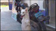 Se den søde video: Hund født uden forben tjener penge til dyrehjem for efterladte kæledyr - Utroligt men sandt | www.bt.dk