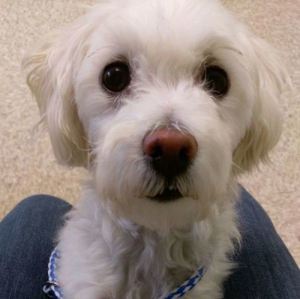 Gatsby Maltese Bichon Frise Dog For Adoption In Bloomington