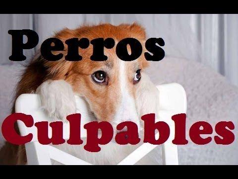 Recopilación Perros culpables 2015. Videos de Risa de perros divertidos - YouTube